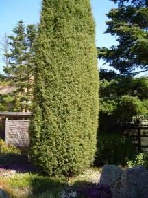 file juniper tree juniperus osteosperma jpg wikimedia