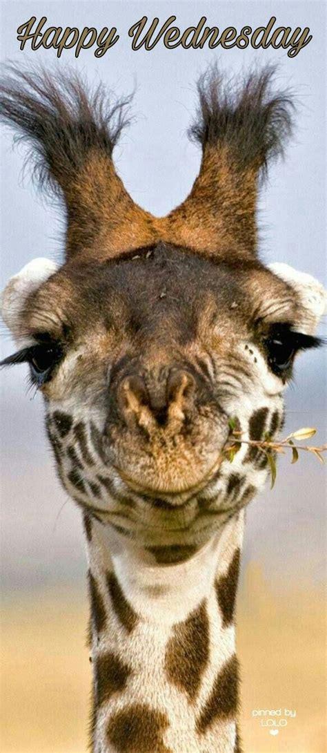 imagenes de jirafas sacando la lengua 303 best wednesday images on pinterest wednesday