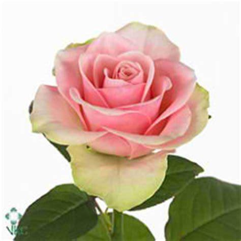 rosa ilios rosa sphinx lillium la pavia freesia du yvonne rosa rose la belle 50cm