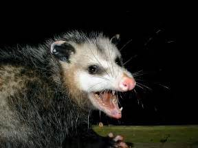 How Do You Keep Cats Out Of Your Garden by How To Get Rid Of Possum