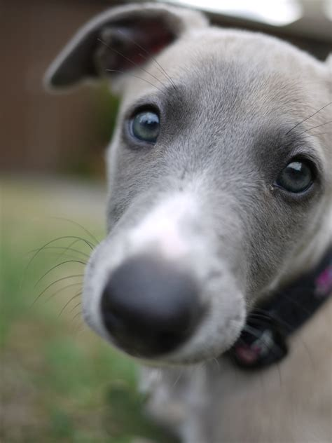 whippet puppy | Life is a Minestrone