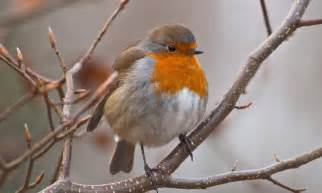 the robin why is it crowned as the most british garden