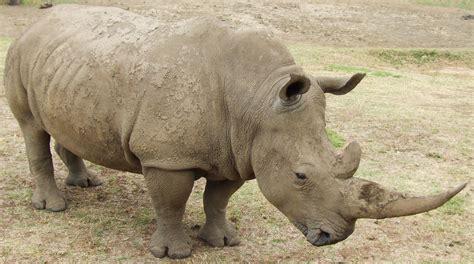 imagenes rinoceronte blanco rinoceronte blanco taringa
