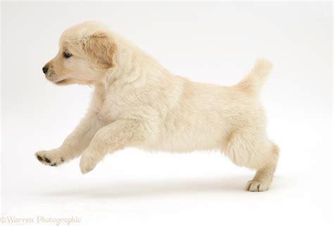 golden retriever puppy running golden retriever puppy running across photo wp11203