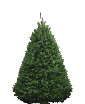 douglas fir christmas tree care mjw services landscaping services including mowing aeration pruning design and
