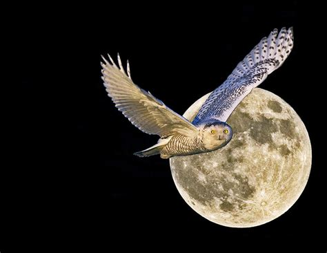 Owl Print Duvet Cover Snow Owl And Full Moon Photograph By Rob Mclean