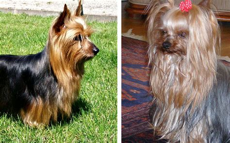 pictures of silky yorkies difference between silky terrier and terrier pictures differences between