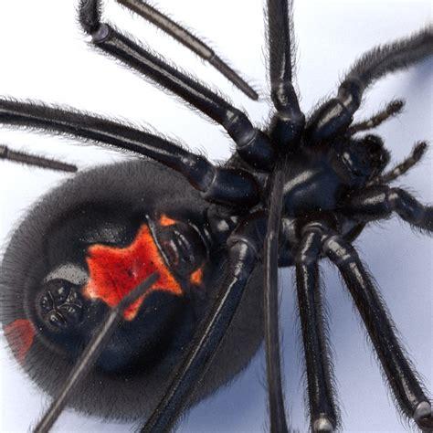 Kaos 4d Umakuka Original Black Widow Spider c4d black widow spider