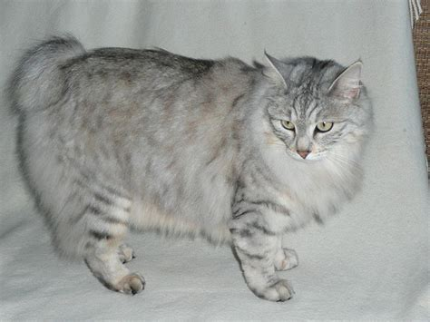 Types Of Cat Hair by Different Cat Breeds With Pictures