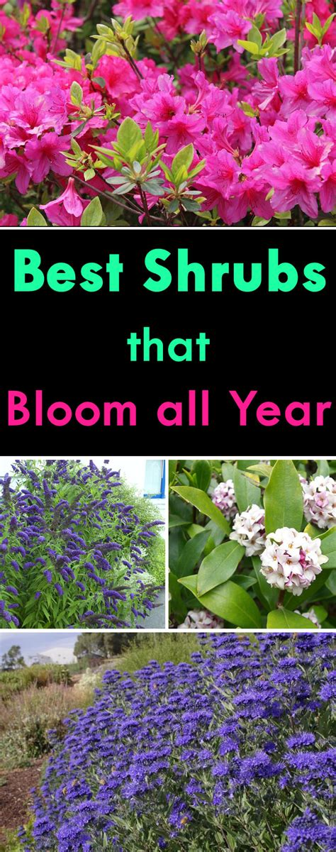 shrubs that bloom all year year round shrubs according to season balcony garden web