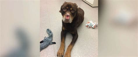 baron the rottweiler surgeons give mutilated a second chance at breaking us news