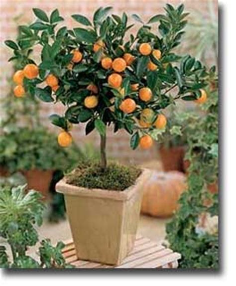 Fruit Trees In Planters by Citrus As A Patio Plant The Oak Leaf