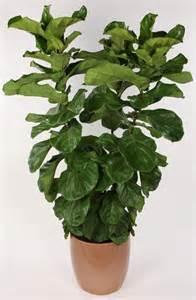 ficus lyrata 14 quot bush farm life tropical foliage