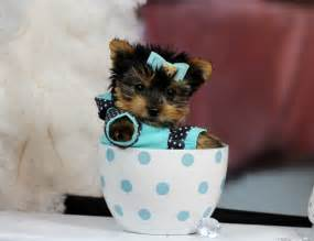 baby teacup yorkies baby teacup yorkie puppies for sale baby teacup yorkies for sale teacup