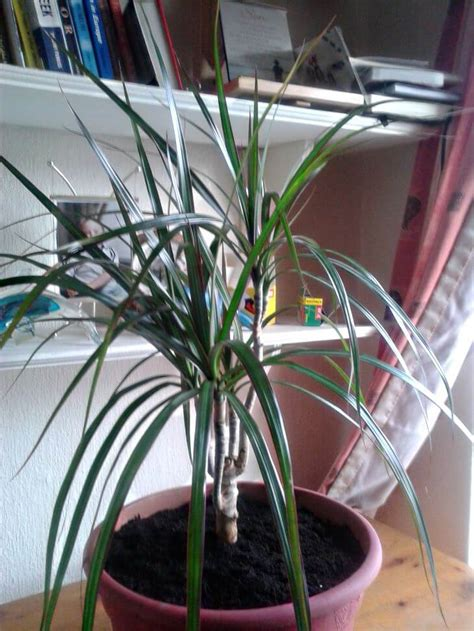 pruning and repotting a madagascar dragon tree