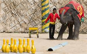 news can football learn from germany elephants of thailand forced to ride tricycles and steer