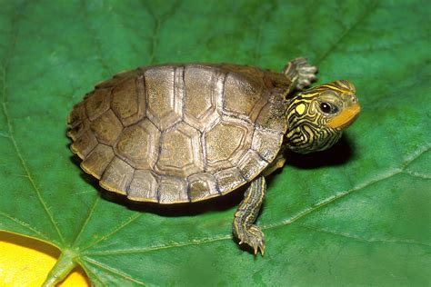 Turtle L by Liam S Favorite Animal River Of Farmstead