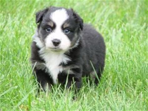 australian shepherd puppies kentucky miniature australian shepherd puppies in kentucky