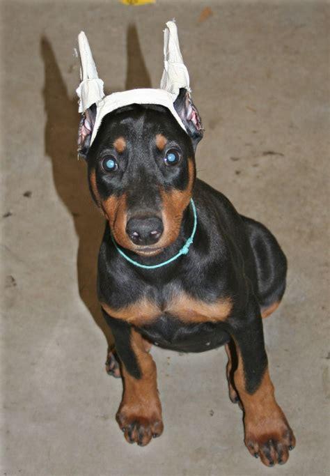 doberman puppy cropped ears doberman ear cropping styles breeds picture