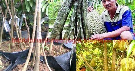 Bibit Durian Bawor Di Jogja bibit durian bawor kaki empat jogja