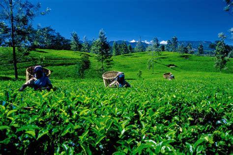 Ceylon Srilanka ceylon tea sri lanka export development board
