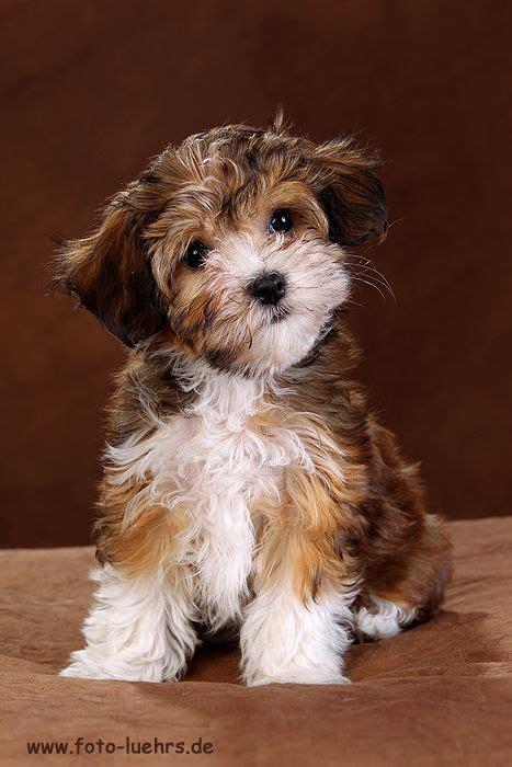 havanese puppies hypoallergenic ein katalog unendlich vieler ideen