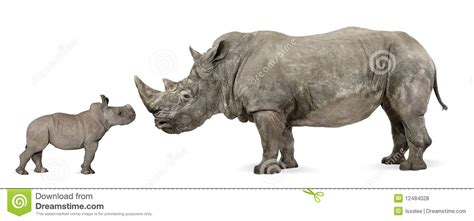 Side View Of Mother And Baby White Rhinoceros Royalty Free ...