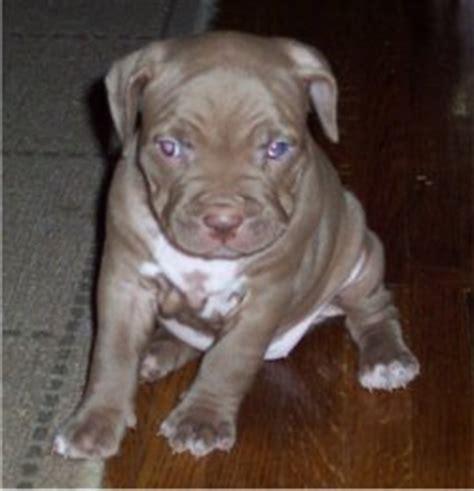 american bull terrier puppies american pit bull terrier puppies breeders pit bull terriers