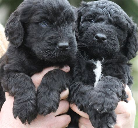 black goldendoodle puppies for sale black goldendoodle puppies for sale animals cutest puppy the o jays