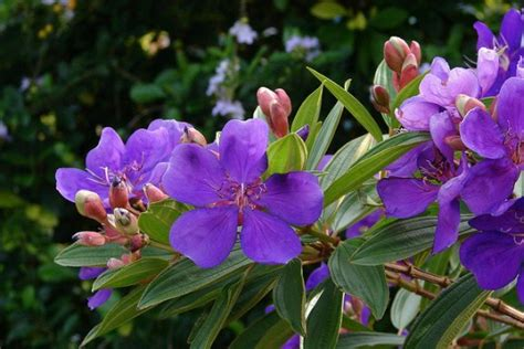tropical flowering shrubs tropical shrubs and trees for lovely flowers tibouchina