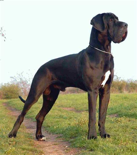 great dane daniff great dane mastiff animals i