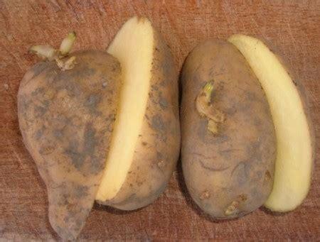 piantare patate in vaso reblog ovvero fuori di me reblog ovvero fuori di me