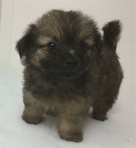pomeranian puppies for sale lancashire la pom lhasa apso x pomeranian puppies for sale lytham st annes lancashire