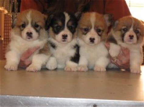 corgi puppies raleigh nc pembroke corgi puppies in mississippi