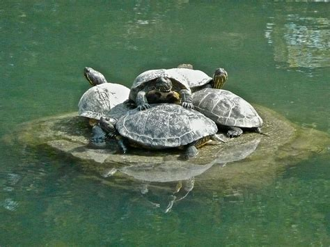 Turtle L by The Best Turtle Dock For Large Turtles Turtleholic