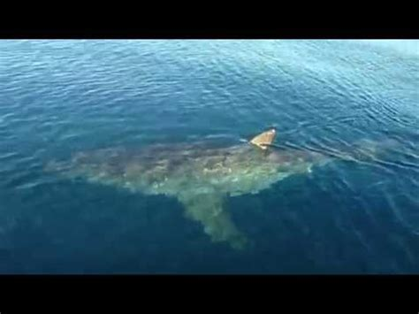 small boat fishing shark bay huge great white shark stalking fishing boat youtube
