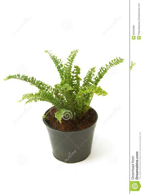 felce da vaso pianta da appartamento della felce felce aquilina in