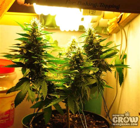best fluorescent grow lights marijuana grow lights led hps cfl