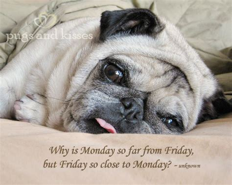 pug monday 10 best pugs and kisses images on pugs and kisses pug pictures and animals