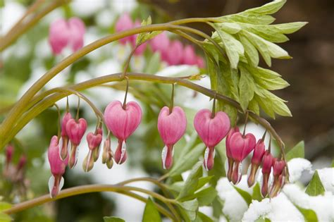Bleeding Heart Winter Care How To Protect A Bleeding Bleeding Flower
