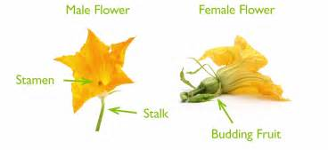 Squash Flower Recipe - garden crops that need pollinators to produce harvests
