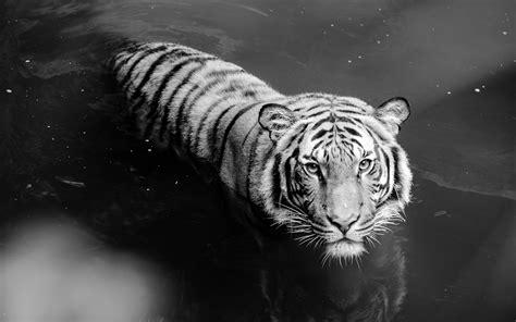 black and white tiger wallpaper animais tigre branco papel de parede wallpapers full hd