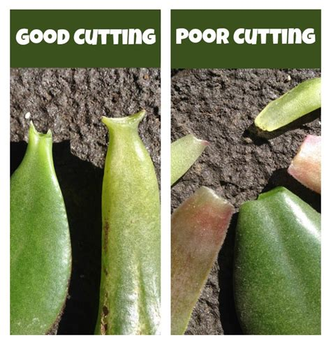 Propagating Succulents Can Be Done By Using The Offsets - propagating succulents free tutorial