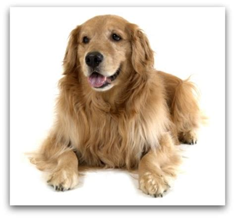 golden retriever species view topic show animals and the pet qualitys animal rp accepting chicken