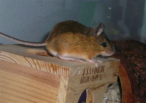 dermott pacific jumping mouse gw deer mouse ranch
