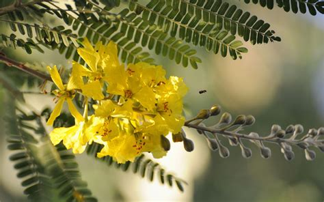 flowers for tree acacia tree flower wallpaper