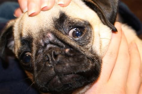 puppy acne 4 simple ways to treat dogs acne