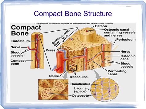compact bone diagram chapter 32 notes the integumentary skeletal and