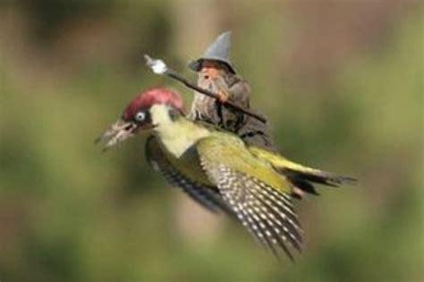 Haver Non Kupas By A D Bird l incre 239 ble vol d una mostela damunt d un ocell