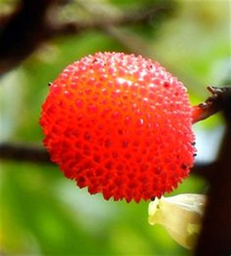 what is a of fruit trees called medronho fruit from the medronho tree arbutus unedo